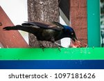 a crow feeding its babies on... | Shutterstock . vector #1097181626