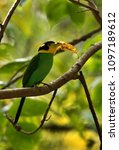 long tailed broadbill with a... | Shutterstock . vector #1097189612