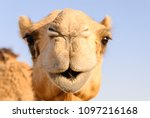 Closeup Of A Camel's Nose And...