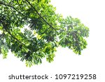 green leaf isolated on a white... | Shutterstock . vector #1097219258