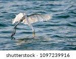 great egret  ardea alba  in... | Shutterstock . vector #1097239916