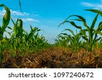 young field corn grows in a no... | Shutterstock . vector #1097240672