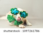 Small photo of White golden retriever with its tongue sticking out, green bow tie and shamrock party glasses against a grey seamless background