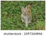 a northern lynx in the forest | Shutterstock . vector #1097264846