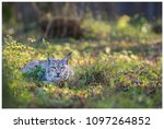 a northern lynx in the forest | Shutterstock . vector #1097264852