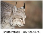 a northern lynx in the forest | Shutterstock . vector #1097264876