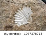 Fossil Shell In The Rock In...