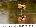 an american avocet and... | Shutterstock . vector #1097291222