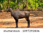 awesome close view of nilgai... | Shutterstock . vector #1097292836