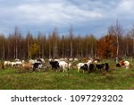 a herd of goats pops into the... | Shutterstock . vector #1097293202