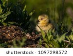 a cute baby canada goose gosling | Shutterstock . vector #1097298572