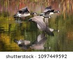 Canada geese flying across a...