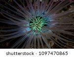 a tube anemone spreads its... | Shutterstock . vector #1097470865