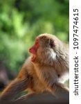 monkey forest  japan   Shutterstock . vector #1097474615