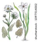 botanical illustration  white... | Shutterstock . vector #1097514002
