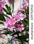 Oleander With Pink Flowers...