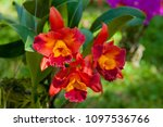hybrid orchid petal white... | Shutterstock . vector #1097536766