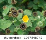 Small photo of Country mallow plant (Abutilon indicum)