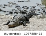 An American Alligator Is...
