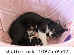 Stock photo cat feeding her baby kittens 1097559542