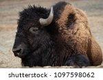 american bison  bison bison ... | Shutterstock . vector #1097598062