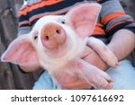 pig's snout close up. white pig ... | Shutterstock . vector #1097616692