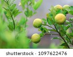 Small photo of Lemon, lime tree, medium size tree. The fruit is round and green, yellow, many sizes are often planted to be part of the food. Add sour taste And taste more delicious.