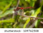 meadowhawk dragonfly | Shutterstock . vector #109762508