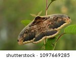 great peacock moth   saturnia... | Shutterstock . vector #1097669285