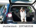 australian shepherd looks out... | Shutterstock . vector #1097683538