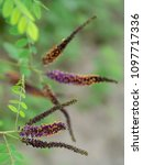 Small photo of Amorpha fruticosa, Falso indigo. Beautiful wild shrub, introduced into Europe now naturalized. Differential focus, detail shot.