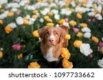 Stock photo red haired dog in tulip flowers pet in summer in nature nova scotia duck tolling retriever toller 1097733662