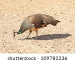 Beautiful Female Peacock...