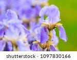 blue iris on a green background | Shutterstock . vector #1097830166