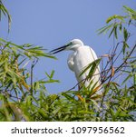great egret    ardea alba   ... | Shutterstock . vector #1097956562