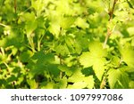 currant blackcurrant green... | Shutterstock . vector #1097997086