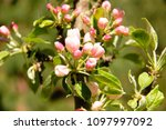 apple flowers bloosom spring in ...   Shutterstock . vector #1097997092