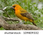 Small photo of Photograph of an immature Altamira Oriole perched on a branch in a south Texas woodland.