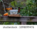baltimore oriole and orchard... | Shutterstock . vector #1098099476