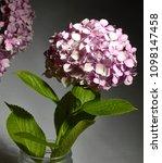 pink hidrangea flower | Shutterstock . vector #1098147458