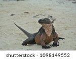 a closeup of an iguana on allen'... | Shutterstock . vector #1098149552