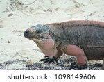 a closeup of an iguana on allen'... | Shutterstock . vector #1098149606