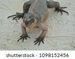 a closeup of an iguana on allen'... | Shutterstock . vector #1098152456