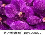 vanda orchid as a background   Shutterstock . vector #1098200072
