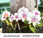 little white pink orchids in...   Shutterstock . vector #1098219356