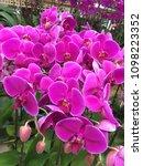 fresh beautiful vivid orchid...   Shutterstock . vector #1098223352