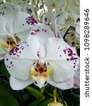 white orchid with purple spots.   Shutterstock . vector #1098289646