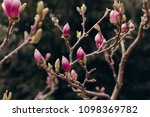 amazing magnolia flowers in the ... | Shutterstock . vector #1098369782