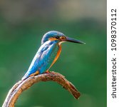 Small photo of The common kingfisher (Alcedo atthis)the Eurasian kingfisher, and river kingfisher, is a small kingfisher with seven subspecies recognized within its wide distribution across Eurasia and North Africa.