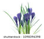 blue crocuses isolated on a...   Shutterstock . vector #1098396398